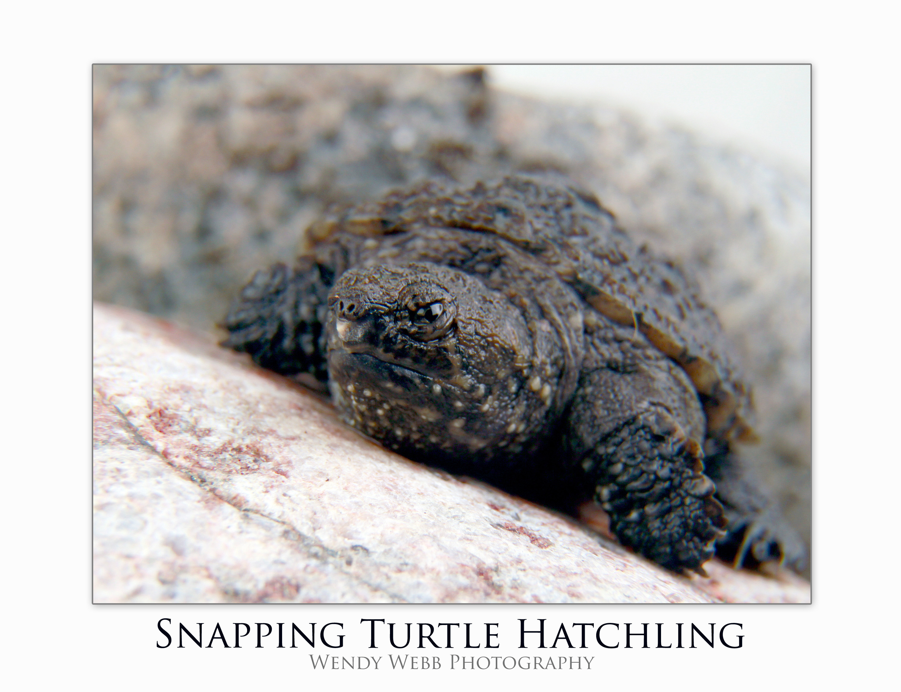 how to hold a baby snapping turtle